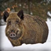 prev_wildschweine